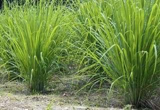 lemongrass- medicinal plant and culinary herb