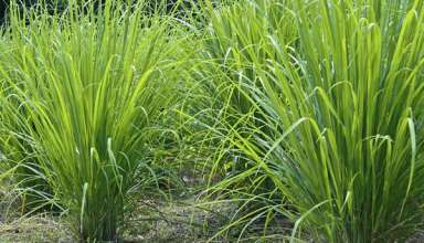 lemongrass- medicinal plant and culinary herb
