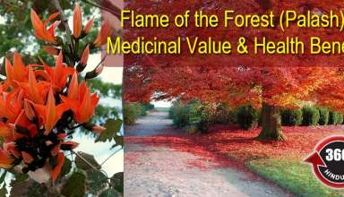 Know About The Medicinal Values Official Flower Of Chandigarh