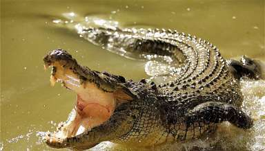 Interesting Facts About Crocodiles: Know Why Crying Crocodile Tears Is So Famous