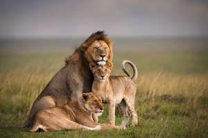 Lion Facts: Know About Some Interesting Facts Of The Lions